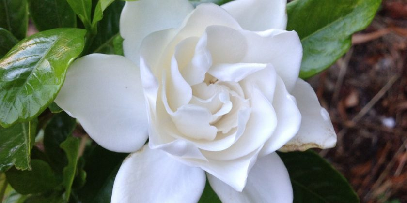 Gardenia summersnow fraserview nursery ltd gardenia summer snow bears beautiful pure white waxy double flowers the flower has a heady sweet fragrance which permeates the surrounding air mightylinksfo